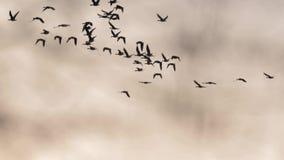 El volar de muchos gansos metrajes
