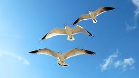 El volar de tres gaviotas Imagen de archivo