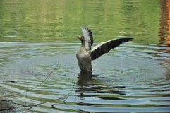 El volar en agua Fotografía de archivo libre de regalías