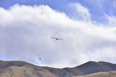 El volar en el cielo del buitre cinéreo está buscando la comida Imagen de archivo libre de regalías