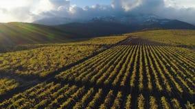 El volar hacia arriba sobre viñedo verde en otoño Montañas en fondo Período de la cosecha Silueta del hombre de negocios Cowering almacen de metraje de vídeo