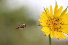El volar hoverfly (balteatus de Episyrphus) en la flor amarilla (Crepis Fotos de archivo
