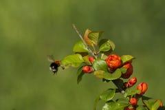 El volar manosea la abeja Fotografía de archivo libre de regalías