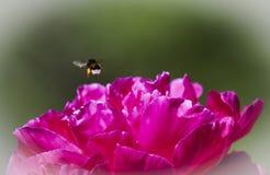 El volar manosea la abeja Imágenes de archivo libres de regalías