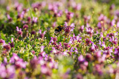 El volar manosea la abeja Fotos de archivo libres de regalías