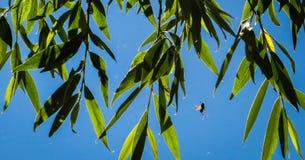 El volar manosea la abeja Fotos de archivo
