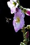 El volar manosea la abeja con polen en garras Fotografía de archivo libre de regalías