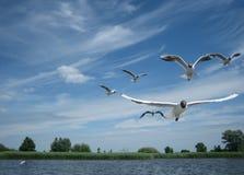 El volar mediterráneo de los pájaros de las gaviotas foto de archivo