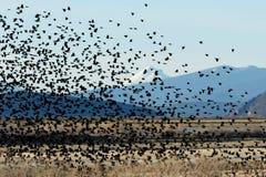 El volar negro de alas rojas de los pájaros Imágenes de archivo libres de regalías