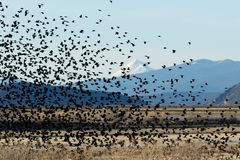 El volar negro de alas rojas de los pájaros Fotografía de archivo libre de regalías