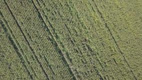 El volar sobre el campo de maíz almacen de metraje de vídeo
