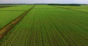 El volar sobre el campo del arroz Campo verde del arroz con una opinión del s-ojo del ` del pájaro Verde almacen de video