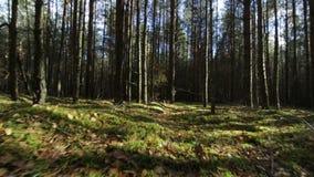 El volar sobre musgo e hierba en el bosque profundo de la pino-picea en haces soleados almacen de video