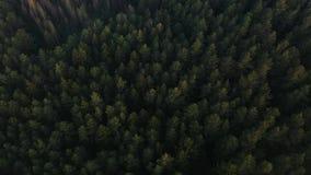 El volar sobre un pino verde enorme extenso y los tops del ?rbol de la picea en el bosque almacen de metraje de vídeo