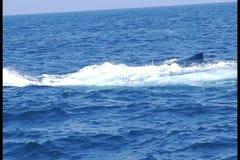 El volear desde muy alto de la cola de la ballena jorobada almacen de video