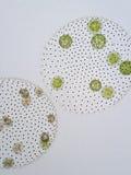 El Volvox es género de las algas verdes del chlorophyte Imagenes de archivo