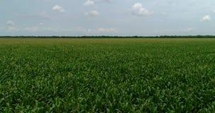 el vuelo aéreo del abejón 4K sobre maíz de la granja rema adelante almacen de metraje de vídeo