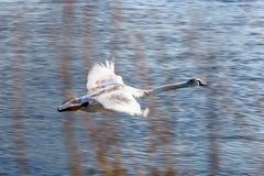 El vuelo blanco del cisne sobre superficie azul del río contra arbusto ramifica Imagen de archivo libre de regalías