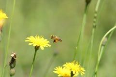 El vuelo de la abeja cerca de una flor anaranjada fotos de archivo