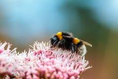 El vuelo de la abeja del manosear fotografía de archivo