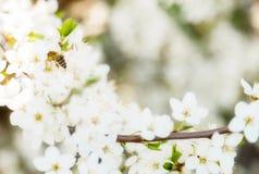 El vuelo de la abeja de la miel del flor de la primavera en la floración florece Fotografía de archivo