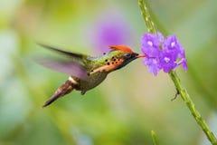 El vuelo de la coqueta y el néctar copetudos el chupar fotos de archivo