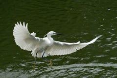 El vuelo de la garceta en el río, en fondo verde oscuro imagen de archivo