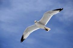 El vuelo de la gaviota Imagen de archivo libre de regalías