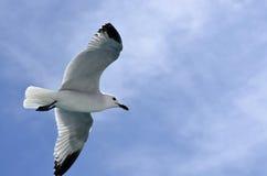 El vuelo de la paloma Imagen de archivo libre de regalías