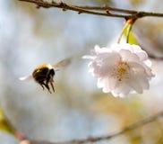 El vuelo de manosea la abeja a una cereza de la flor Imagen de archivo libre de regalías