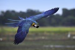 El vuelo del macaw del azul y del oro en arroz coloca Imagenes de archivo