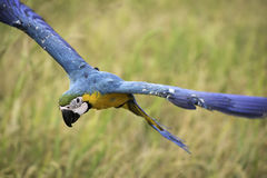 El vuelo del macaw del azul y del oro en arroz coloca Fotografía de archivo libre de regalías