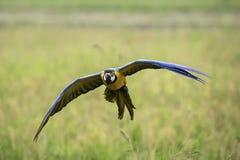 El vuelo del macaw del azul y del oro en arroz coloca Imagen de archivo libre de regalías