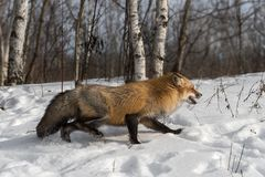 El vulpes de Amber Phase Red Fox Vulpes corre a la derecha Imagenes de archivo