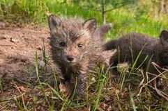 El vulpes del Fox rojo Kit Vulpes mira adelante Imagen de archivo libre de regalías