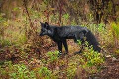 El vulpes del Vulpes del zorro plateado se coloca a la izquierda Fotografía de archivo