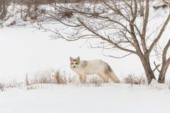 El vulpes rojo del Vulpes del Fox del mármol se coloca debajo de árbol Foto de archivo libre de regalías