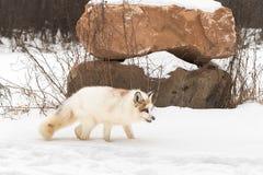 El vulpes rojo del Vulpes del Fox del mármol se coloca en rocas cerca llenadas de la nieve Imagenes de archivo