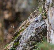 Wallcreeper en las rocas Foto de archivo