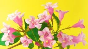 El Weigela florece HD almacen de metraje de vídeo