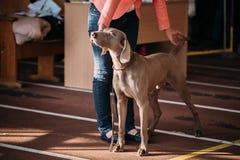 El Weimaraner es un perro grande que fue criado originalmente para el hunti Fotos de archivo libres de regalías