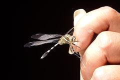 El Whisperer de la libélula Imagen de archivo