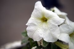 El whute de la petunia florece el primer imagen de archivo