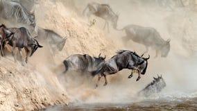 El Wildebeest salta en el río de un alto acantilado Foto de archivo