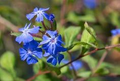 El wilmottianum de Ceratostigma florece el detalle o Fotos de archivo
