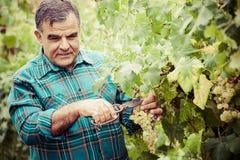 El winemaker mayor corta las ramitas fotografía de archivo