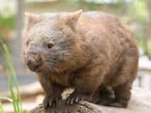 El wombat común del australiano se coloca en un registro Foto de archivo libre de regalías