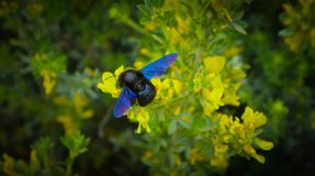 El Xylocopa Valga, abeja de carpintero recoge el polen en el bosque Bla Imágenes de archivo libres de regalías