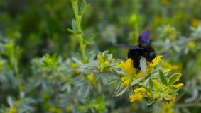 El Xylocopa Valga, abeja de carpintero recoge el polen en el bosque Bla Fotografía de archivo libre de regalías