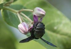 El Xylocopa Valga o la abeja de carpintero en Apple de Sodom florece Imagen de archivo libre de regalías